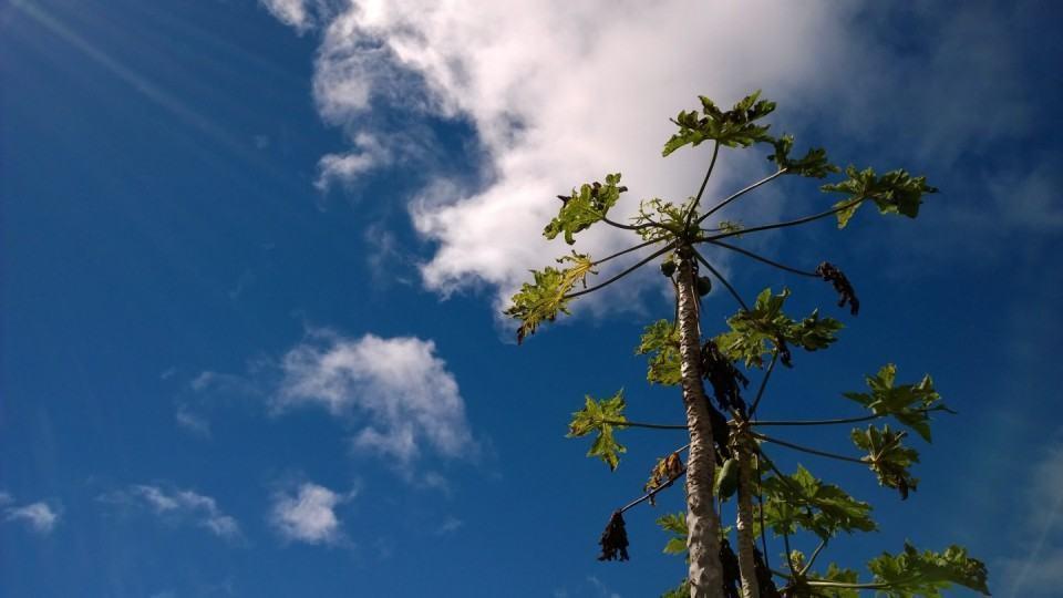 Foto de mamoeiro feita com o Lumia 1520.