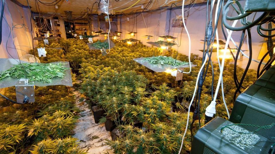 Plantação ilegal de cannabis na Inglaterra.