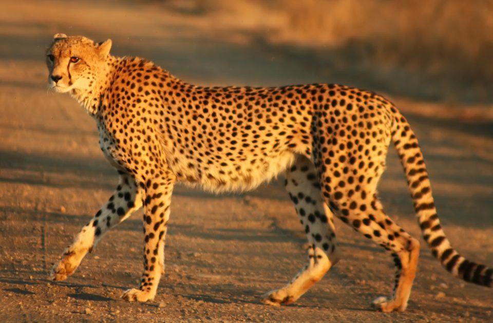 Guepardo na África.