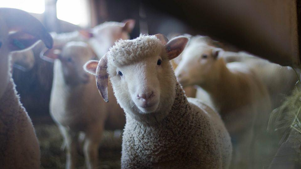 Filhote de ovelha encarando a câmera