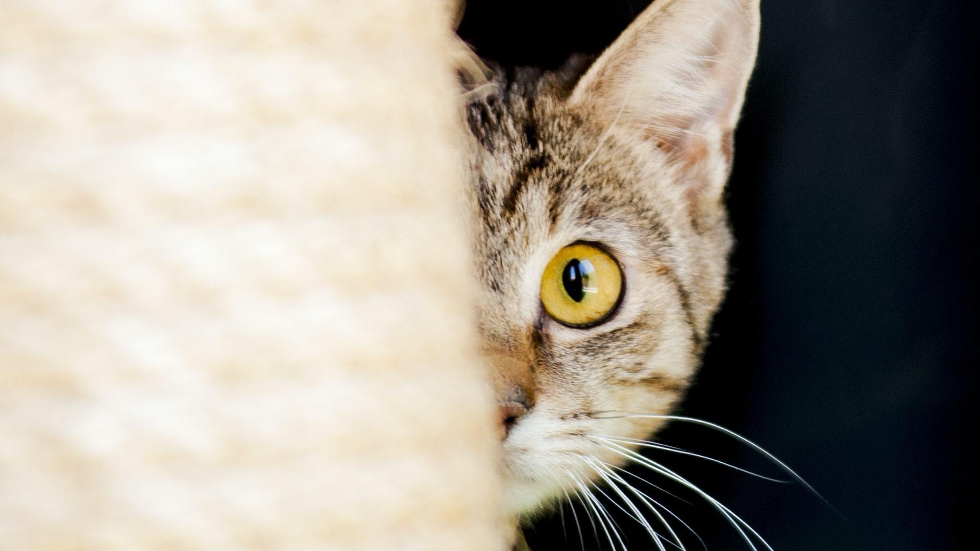 Rosto de um gato semi-encoberto por uma toalha.