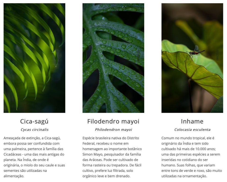 Print de três papéis de parede de Inhotim com explicações das plantas das imagens embaixo.