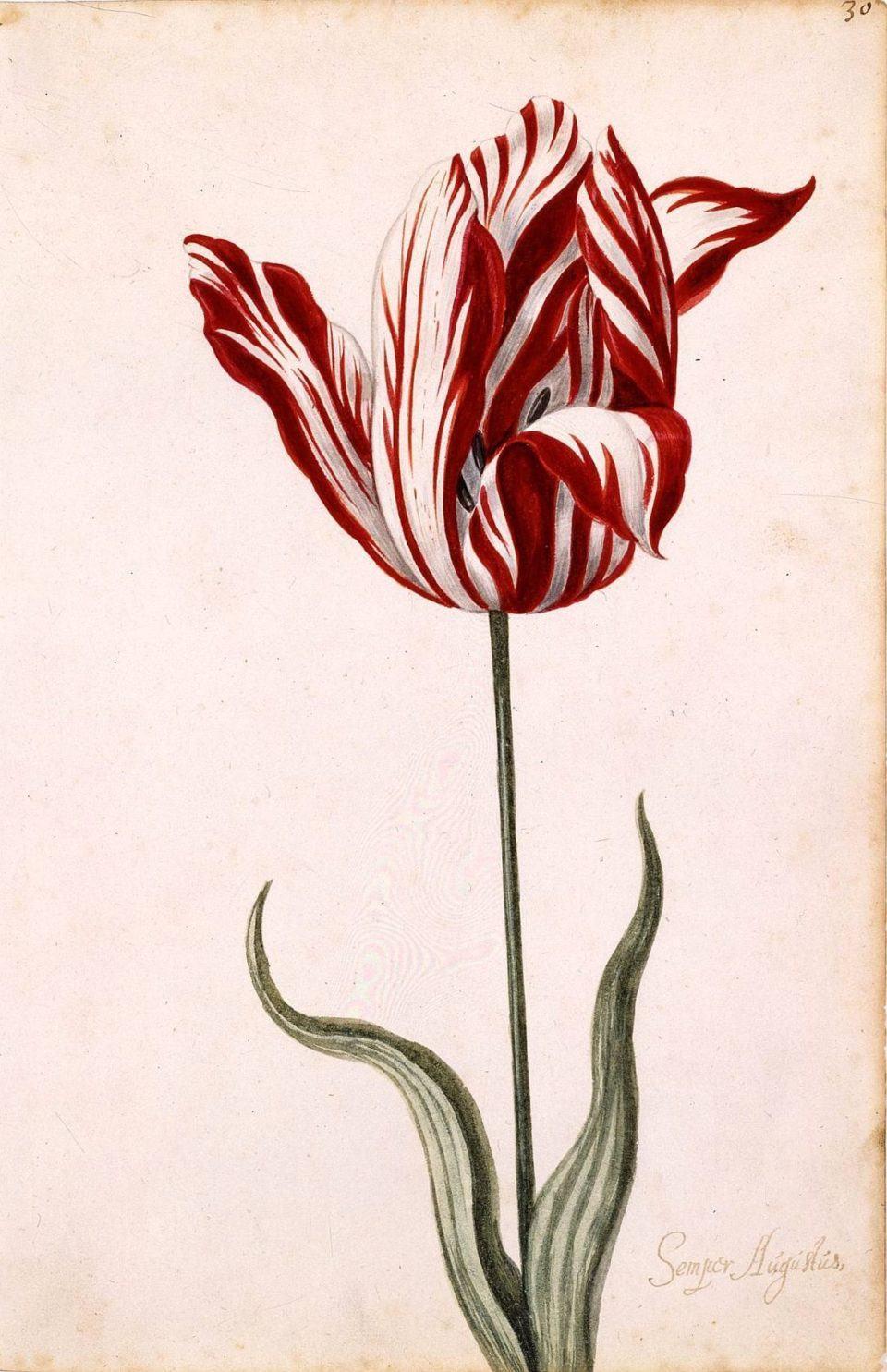 Pintura de uma tulipa Semper Augustus.